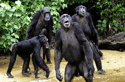Protection des chimpanzés