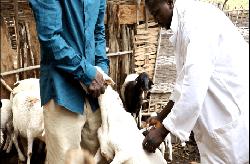 Campagne de vaccination du bétail